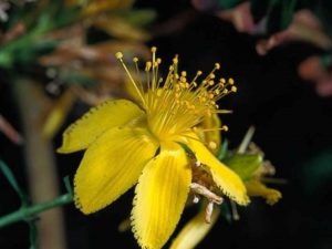 Hypericum perforatum_common St. Johnswort_flower_JM DiTomaso