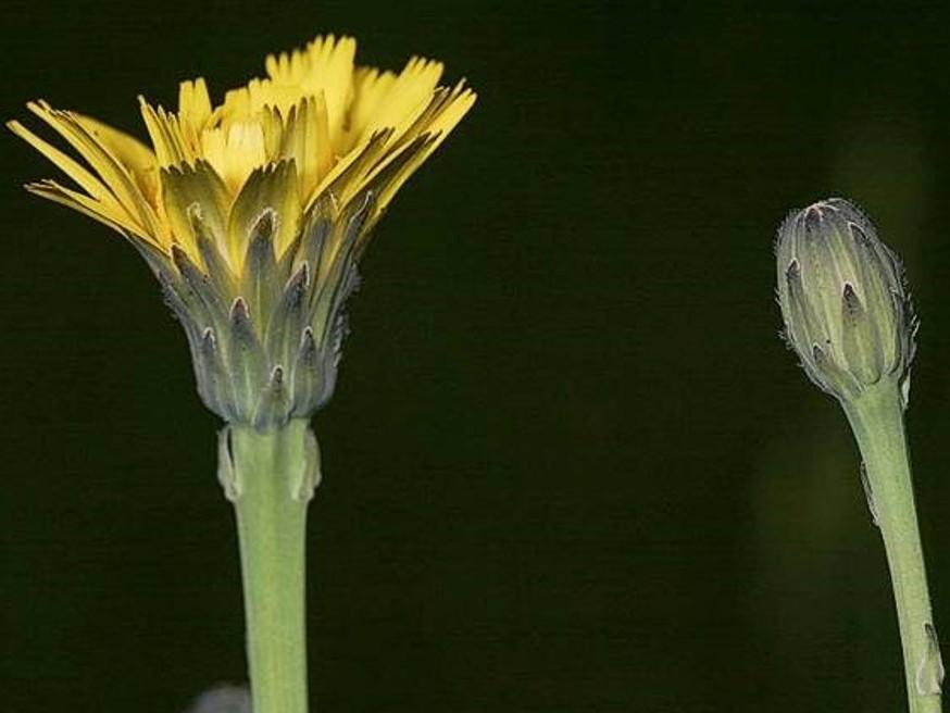 Hypochaeris radicata_common catsear_flower_JM DiTomaso