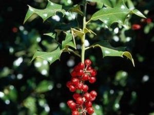 Ilex aquifolium_English Holly_stem with fruit M_JM DiTomaso
