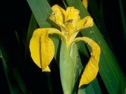 Iris pseudacorus_yellowflag iris flower_ JM Di Tomaso