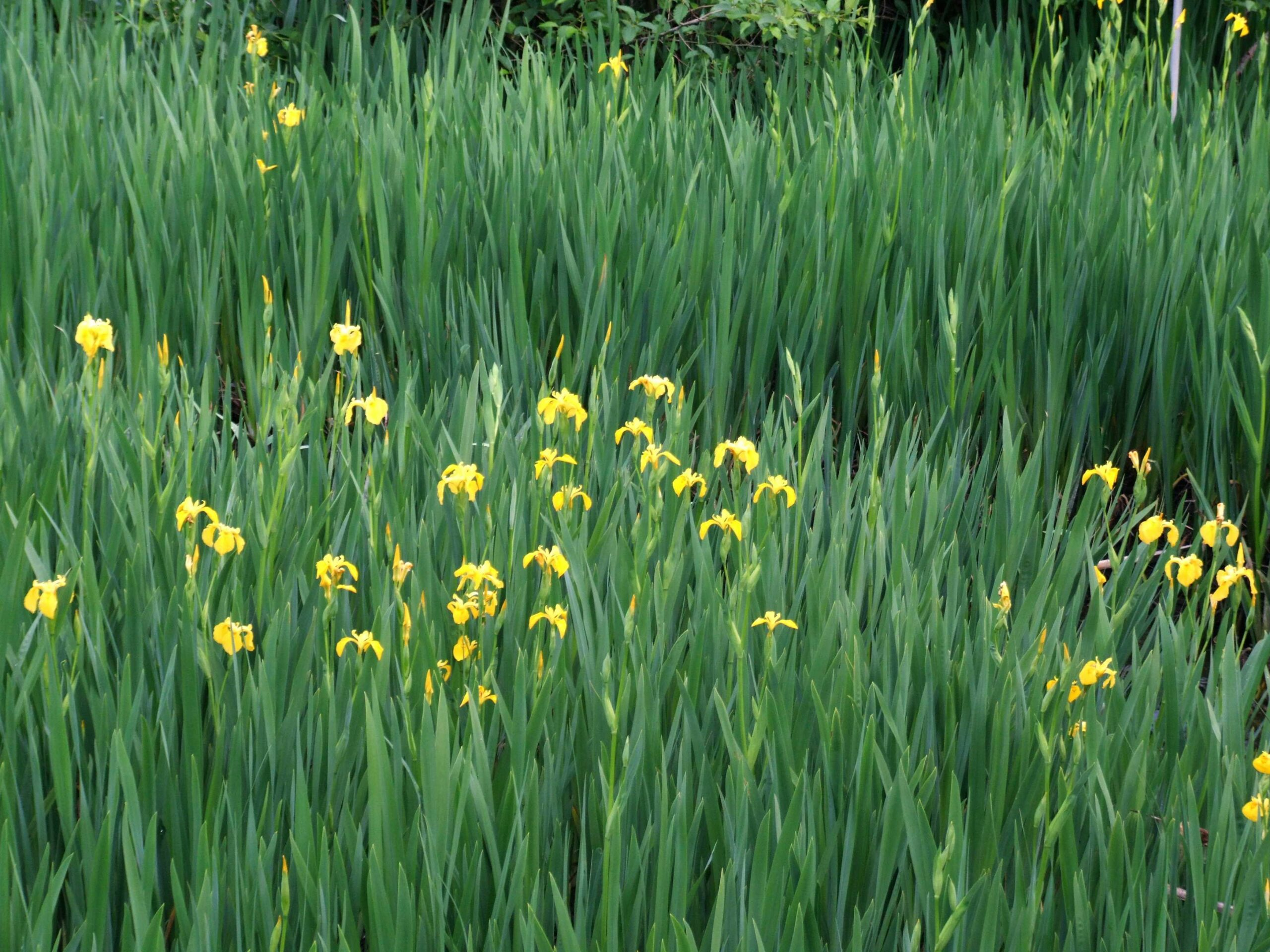 Iris pseudacorus_yellowflag iris_Bob Case_cropped