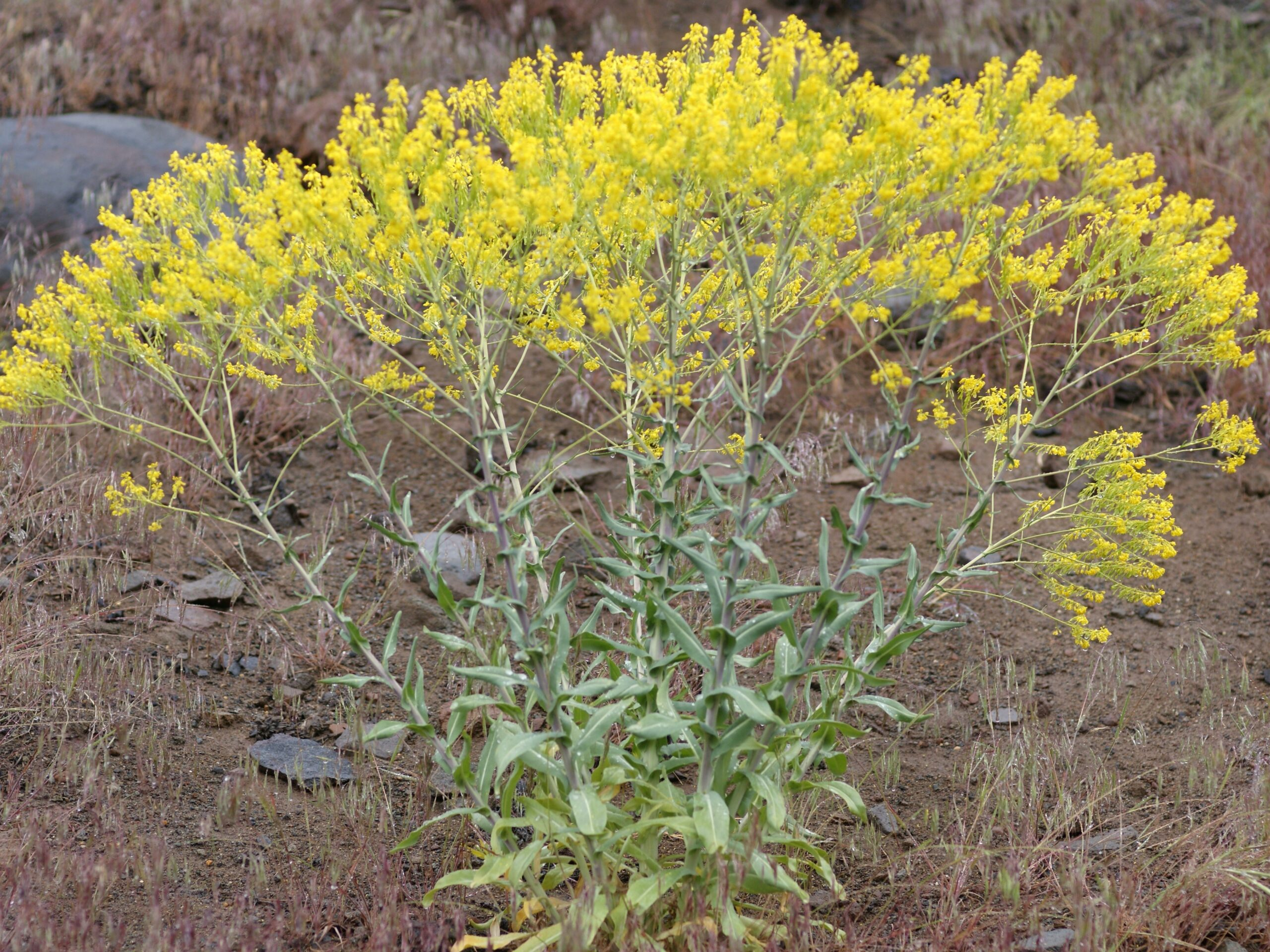 Isatis tinctoria_dyer's woad_growth habit_Bob Case_cropped