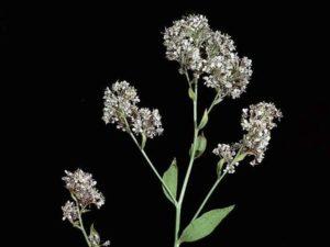 Lepidium latifolium_perennial pepperweed_JM DiTomaso