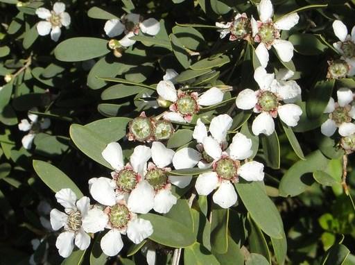Leptospermum laevigatum_Neal Kramer