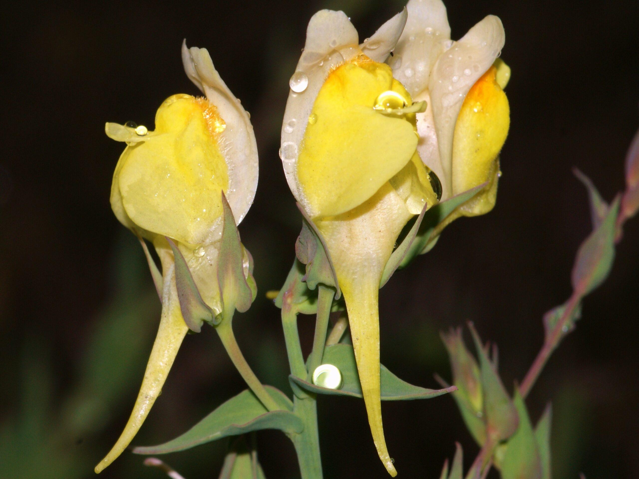 Linaria dalmatica_dalmatian toadflax_flowers_Bob Case_cropped