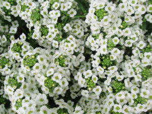 Lobularia maritima_Sweet_alyssum_by Pharoah Hound
