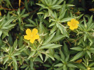 Ludwigia hexapetala_water primrose_Glenn Miller_cropped