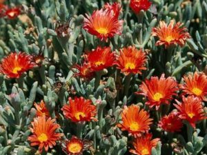 Malephora crocea_C001-12