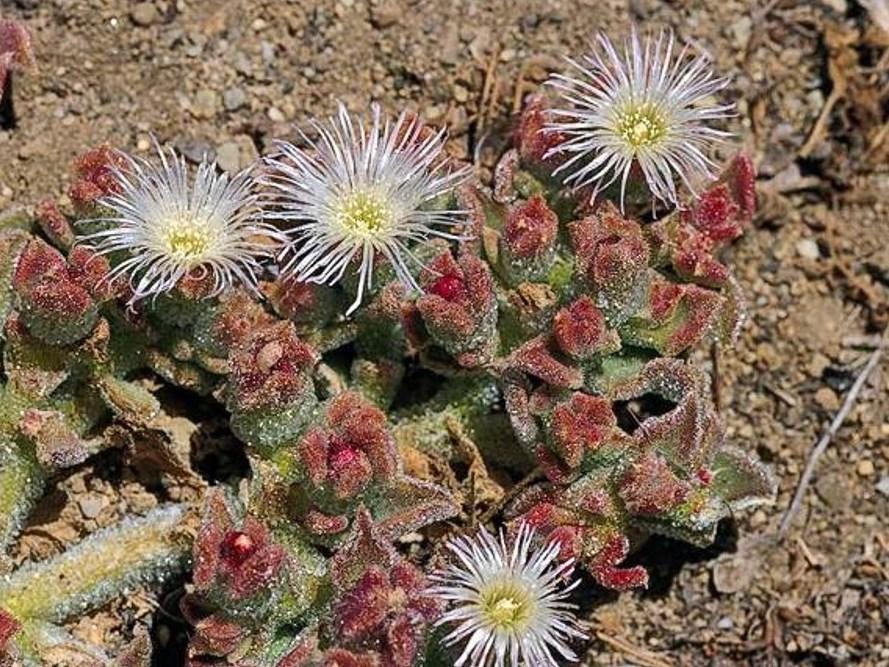 Mesembryanthemum crystallinum_crystalline iceplant_JM DiTomaso