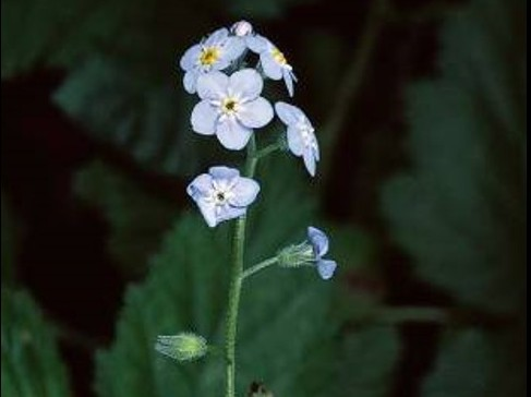 Myosotis latifolia_broadleaf forget me not_flower_JM DiTomaso