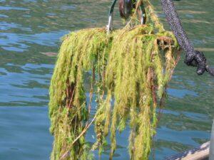 Myriophyllum spicatum_spike watermilfoil_John Madsen_cropped
