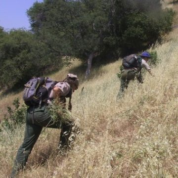 Invasive plant management needs to adapt to climate change Photo by Bobbi Simpson, NPS