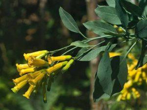 Nicotiana glauca_tree tobacco_ JM Di Tomaso