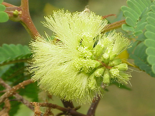 Paraserianthes lopantha_Kurt Stuber Wikimedia