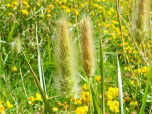 Polypogon monspeliensis_rabbitsfoot grass_Jutta Burger_cropped