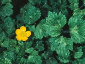 Ranunculus repens_creeping buttercup_ JM Di Tomaso