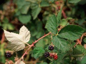 Rubus armeniacus_Hilamalaya blackberry_ JM Di Tomaso