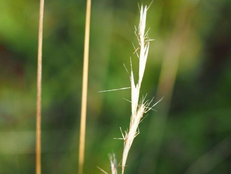 Rytidosperma penicillatum_hairy wallaby grass_Michael Uhler_cropped