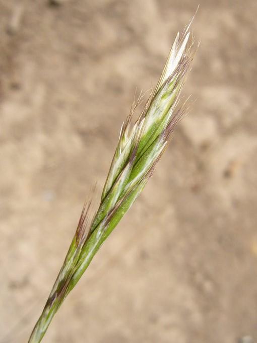 Rytidosperma penicillatum_hairy wallaby grass_Zoya Akulova_ cropped