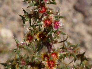 Salsola tragus_Russian thistle_Bob Case_cropped