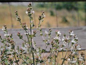Salvia aethiopis_Mediterranean sage_ JM Di Tomaso