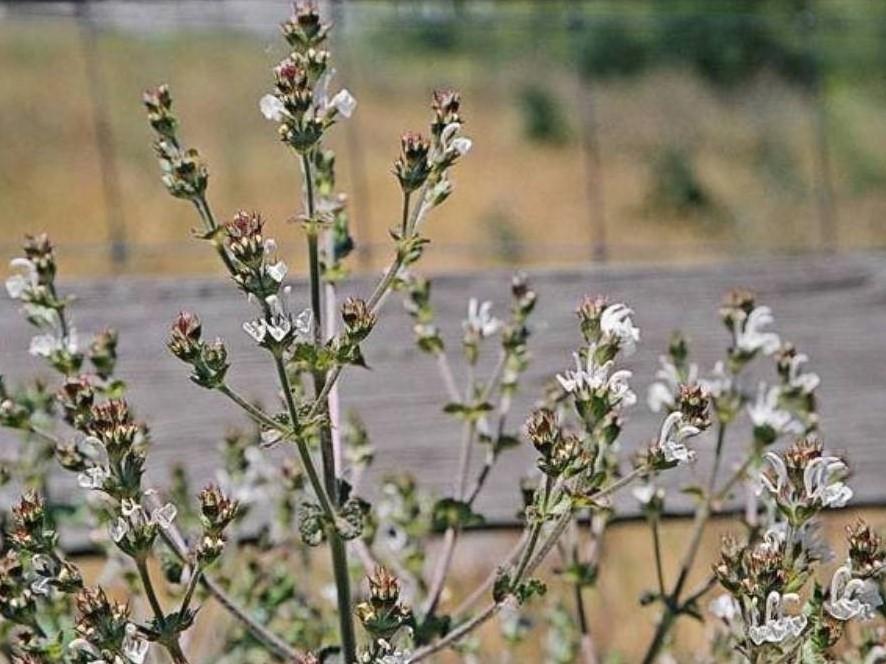 Salvia aethiopis_Mediterranean sage_ JM Di Tomaso_cropped