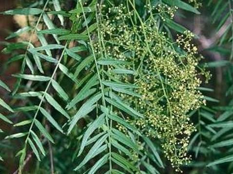 Schinus molle_Peruvian peppertree_JM DiTomaso