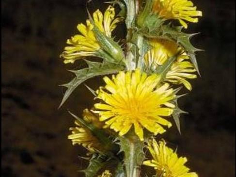 Scolymus hispanicus_C030-14