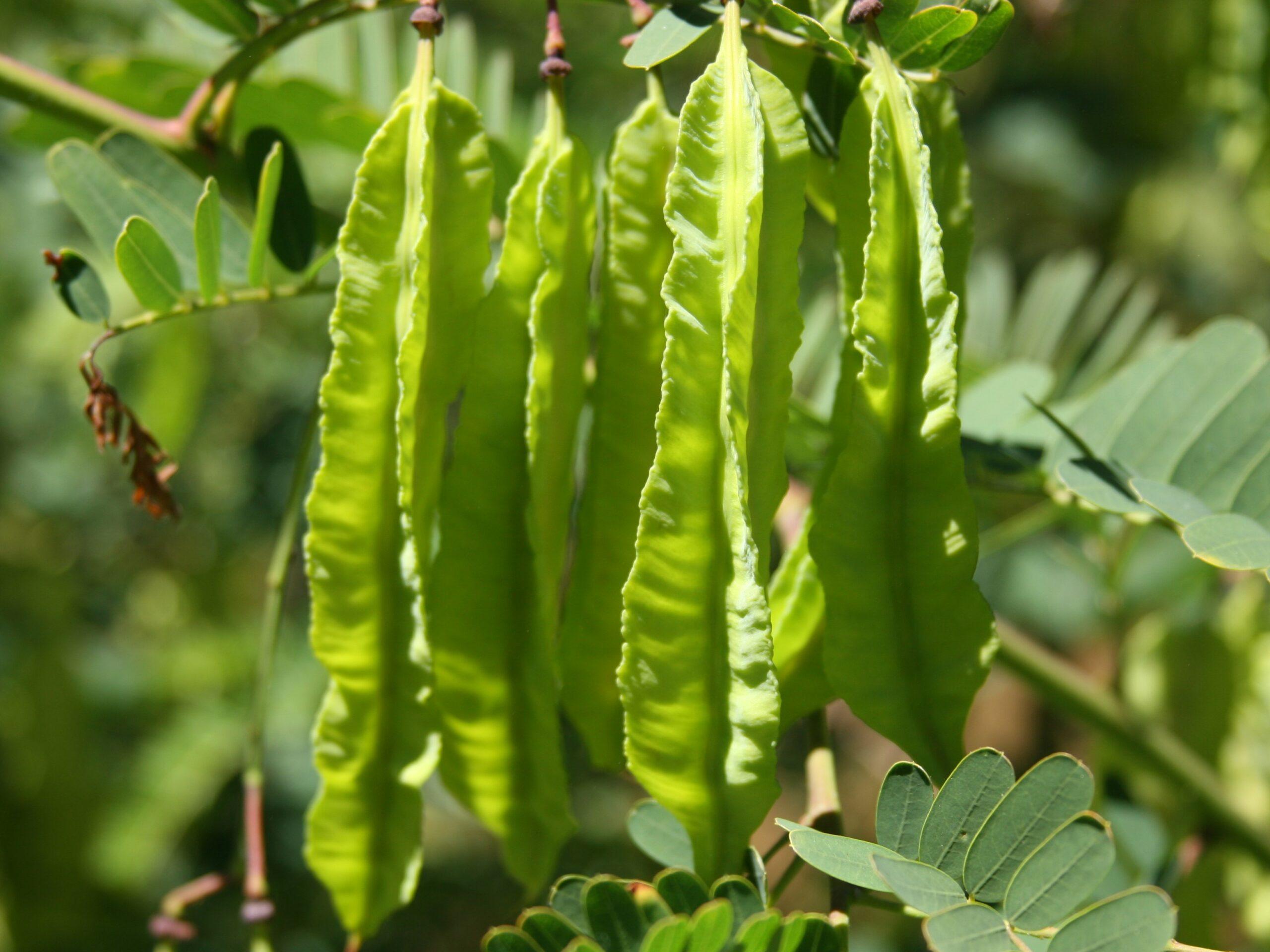 Sesbania punicea_scarlet wisteria fruits_Mona Robison_cropped