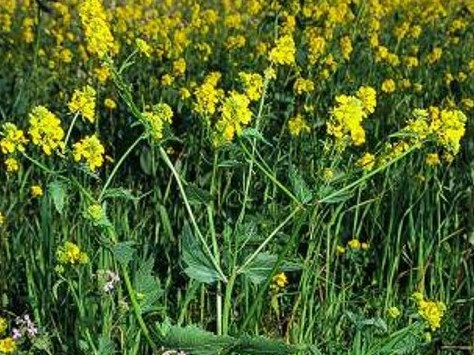 Sinapis arvensis_wild mustard_JM DiTomaso