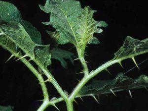 Solanum carolinense_C247-04