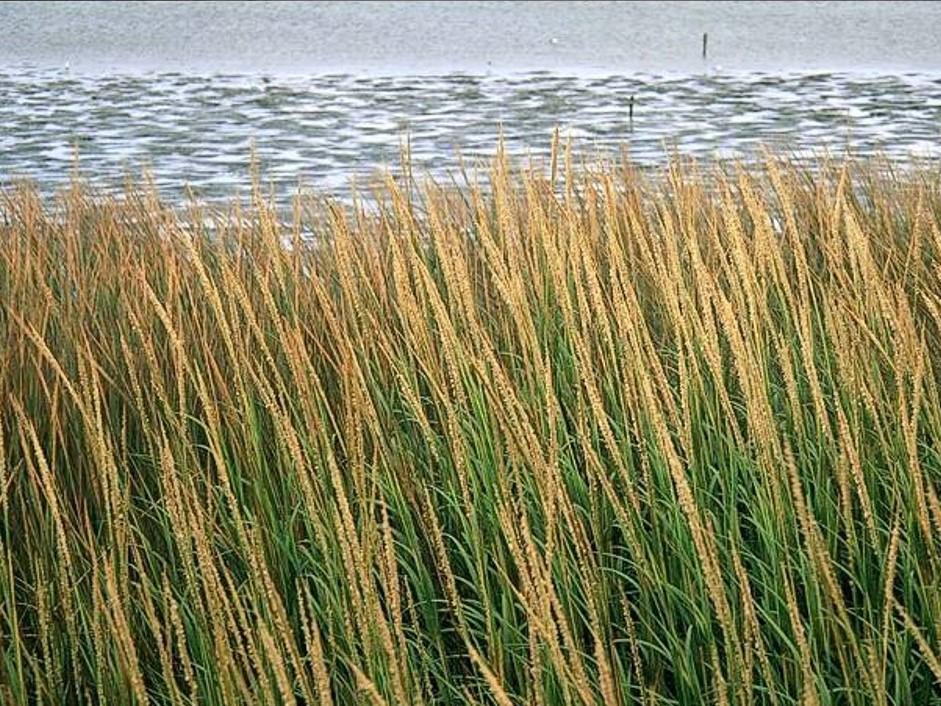 Spartina alterniflora_smooth cordgrass_Donald Strong_cropped