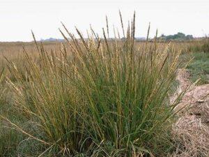 Spartina densiflora_dense-flowered cordgrass_JM DiTomaso_cropped