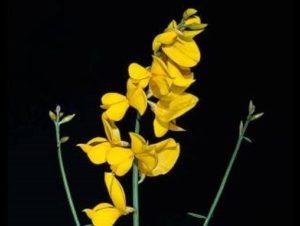 Spartium junceum_Spanish broom_JM DiTomaso