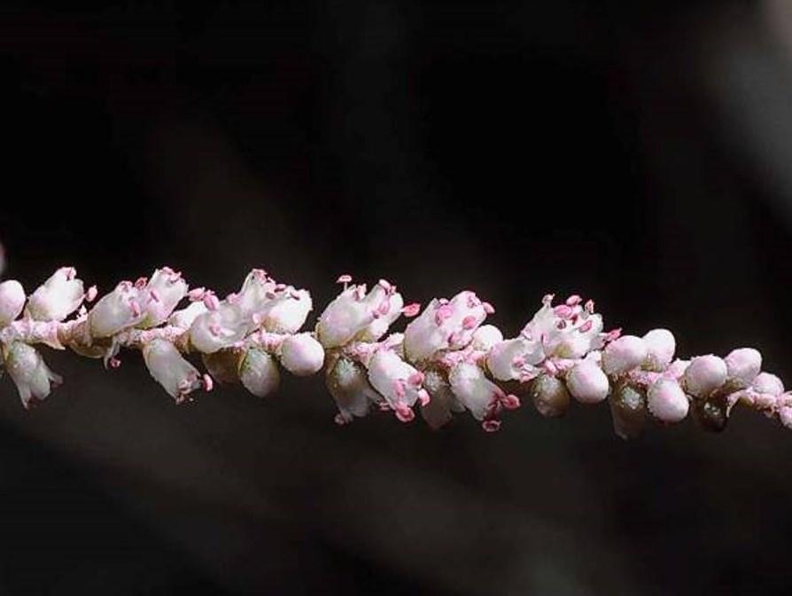 Tamarix aphylla_JM DiTomaso