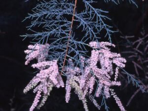 Tamarix ramosissima_saltcedar_Joe DiTomaso_cropped