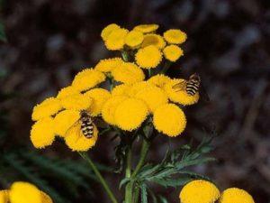 Tanacetum vulgare_common tansy_JM DiTomaso