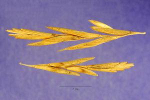 Thinopyrum junceiforme_Jose Hernandez Wikimedia