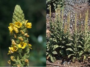 Verbascum thapsus_common mullein_flower JM Di Tomaso