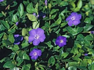 Vinca major_big periwinkle_JM DiTomaso
