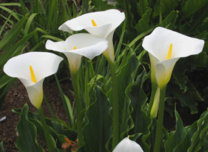 Zantedeschia_aethiopica_calla lilly by Manfred Heyde Wikipedia commons