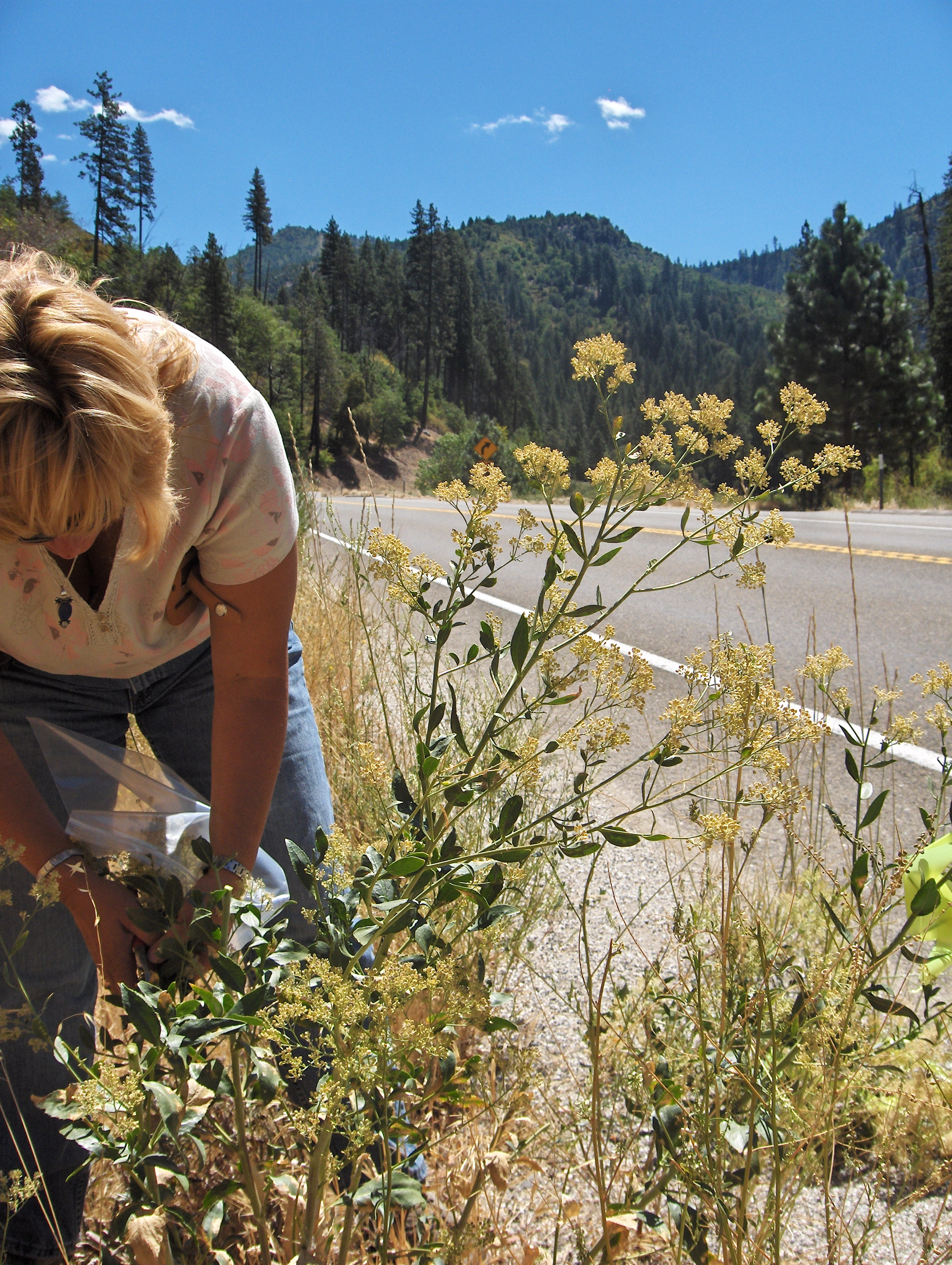 An infested landscape shows the scale of the problem. Agricultural Biologist Technician Jana Rapetti stands in a sea of tall whitetop (Lepidium latifolium) in Alpine County that she helped clear. Photo: Jessica Honeycutt