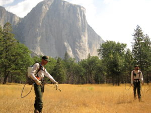 Yosemite invasive plant management staff treat Himalayan blackberry in Yosemite Valley below El Capitan, Yosemite National Park.