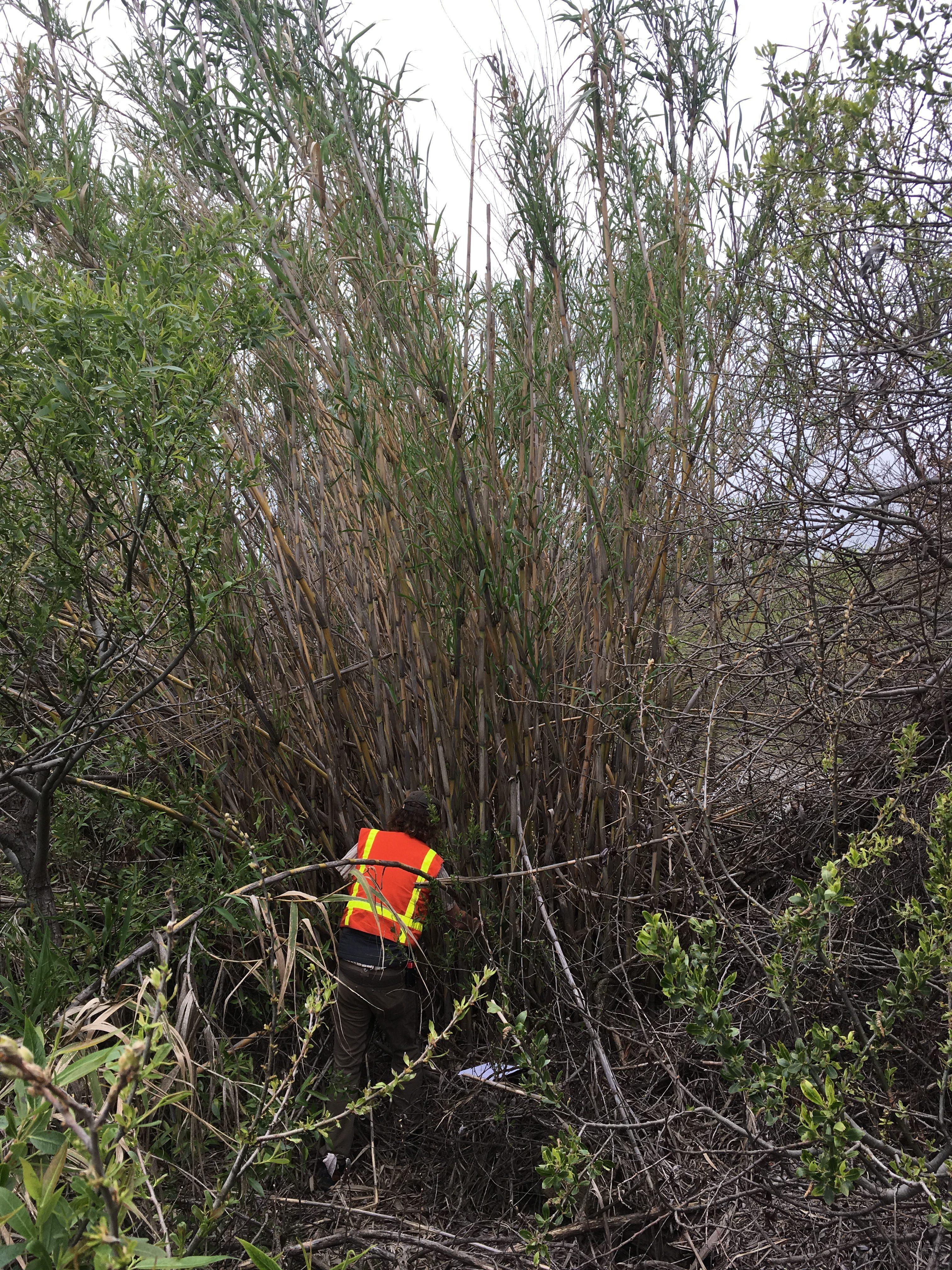 Preparing to sample cane density and leaf area in Tehama County. Photo: Dana Morawitz