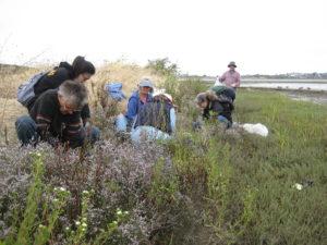 Friends of Five Creeks removing Algerian sea lavendar in Albany (Alameda Co.)
