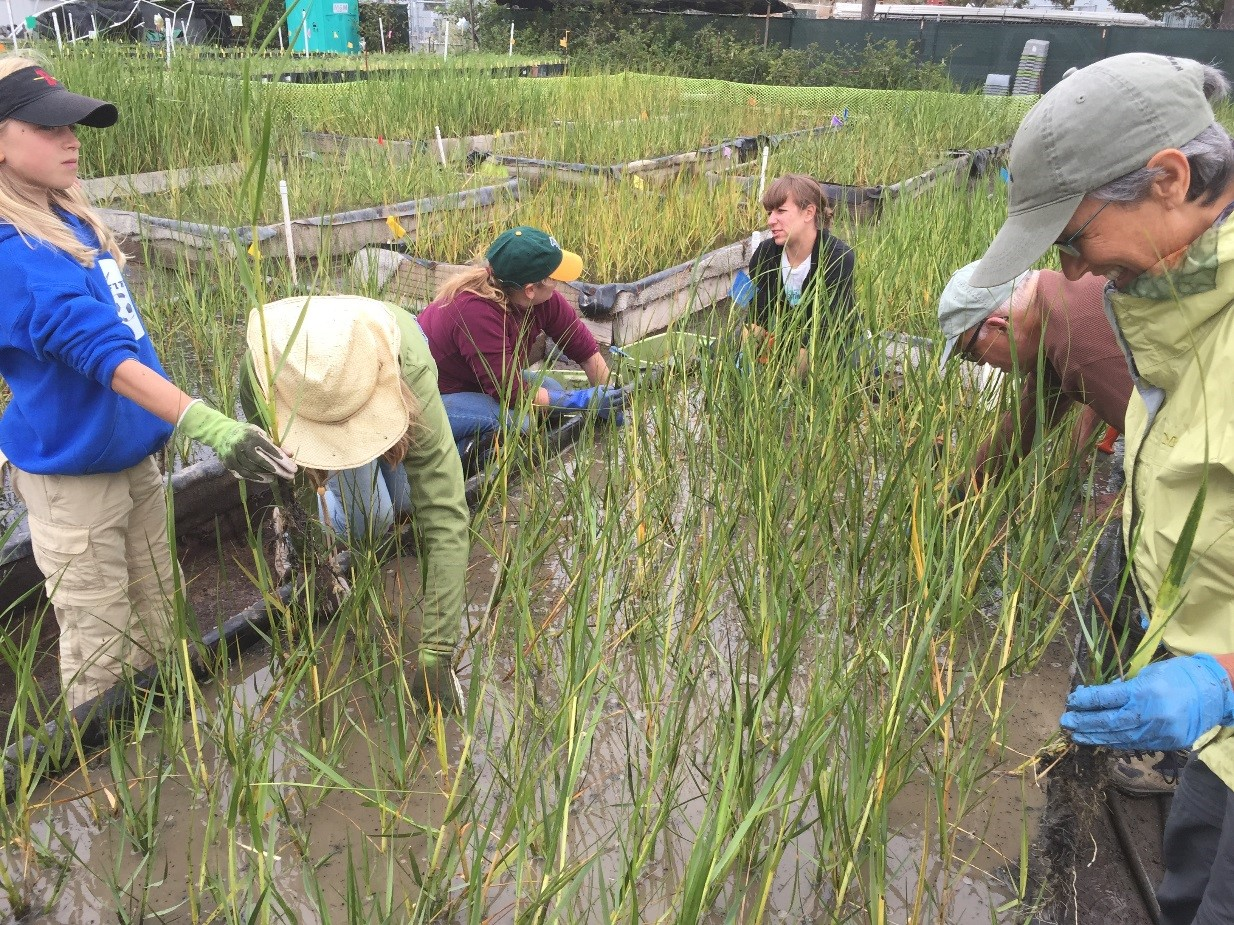 Six smiling people lean over a muddy garden plot, setting small native Spartina plants in neat rows