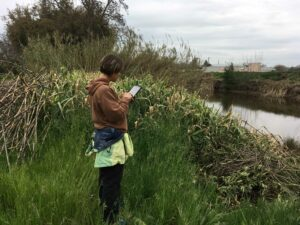 A Cal-IPC staff member helps survey for invasive Arundo