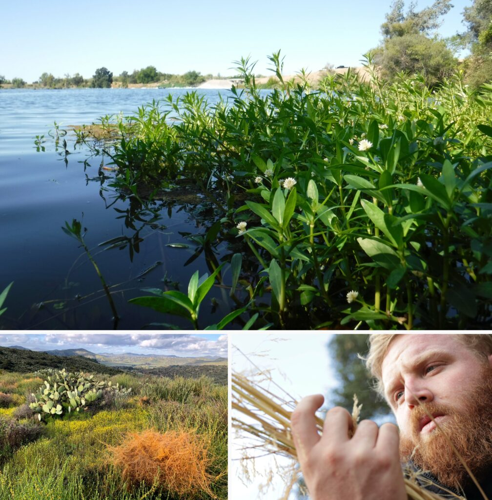 Composite image. Top image has large patch of alligator weed with bright green leaves and white flowers growing in a body of still water. Bottom left image has green landscape with cactus on left, rolling hills in background, and bright red dodder in the foreground. Bottom right corner has a man with red hair and beard staring intently at dry weed stems in his hand.