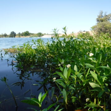 Bright green alligator weed plants invade blue river